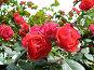 Розовый куст, фото № 182277, снято 27 мая 2007 г. (c) Наталья Ярошенко / Фотобанк Лори