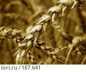 Купить «Пшеничный колос крупным планом. Сепия.», фото № 187641, снято 11 июля 2007 г. (c) Петрова Ольга / Фотобанк Лори