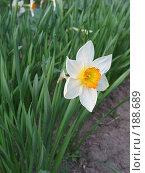 Купить «Нарцисс», фото № 188689, снято 20 мая 2007 г. (c) Юлия Подгорная / Фотобанк Лори