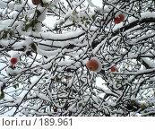 Купить «Яблоки на ветках в снегу», фото № 189961, снято 21 апреля 2007 г. (c) Елена Кретова / Фотобанк Лори