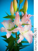 Купить «Розовая лилия», фото № 190761, снято 30 сентября 2007 г. (c) Валентин Мосичев / Фотобанк Лори