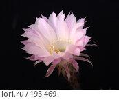 Купить «Цветок кактуса», фото № 195469, снято 16 сентября 2006 г. (c) Ирина Борсученко / Фотобанк Лори