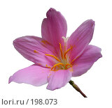 Купить «Зефирантес или выскочка розовый», эксклюзивное фото № 198073, снято 28 мая 2006 г. (c) Алёшина Оксана / Фотобанк Лори