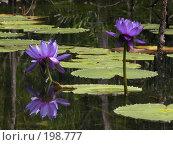 Купить «Две лилии», фото № 198777, снято 19 октября 2006 г. (c) Вячеслав Потапов / Фотобанк Лори