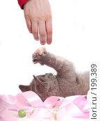 Купить «Серый котенок британской породы», фото № 199389, снято 29 мая 2007 г. (c) Ольга С. / Фотобанк Лори