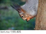 Купить «Белка на дереве грызет орех», фото № 199405, снято 13 января 2008 г. (c) Golden_Tulip / Фотобанк Лори
