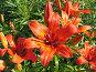 Лилия даурская - Lilium dauricum, фото № 200221, снято 8 июля 2006 г. (c) Беляева Наталья / Фотобанк Лори