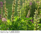 Купить «Люпины, утро», фото № 200833, снято 25 июня 2005 г. (c) Светлана Шушпанова / Фотобанк Лори