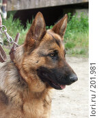 Купить «Собака немецкая овчарка», фото № 201981, снято 25 апреля 2004 г. (c) Федор Королевский / Фотобанк Лори