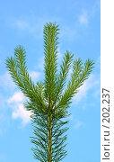 Купить «Молодая зеленая, но уже колючая», фото № 202237, снято 23 июня 2007 г. (c) Анатолий Теребенин / Фотобанк Лори