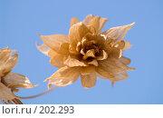 Купить «Засохший цветок хмеля на фоне голубого неба», фото № 202293, снято 16 мая 2007 г. (c) Ирина Игумнова / Фотобанк Лори