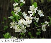 Купить «Цветущая вишня», фото № 202777, снято 14 мая 2006 г. (c) Николай Федорин / Фотобанк Лори