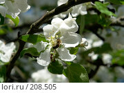 Купить «Пчела на цветке яблони», фото № 208505, снято 20 мая 2007 г. (c) Александр Буровцев / Фотобанк Лори