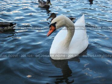 Купить «Лебедь», фото № 209101, снято 16 сентября 2007 г. (c) Марина / Фотобанк Лори