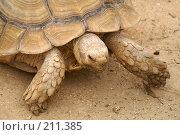 Купить «Сухопутная черепаха», фото № 211385, снято 9 июня 2006 г. (c) Ирина Игумнова / Фотобанк Лори