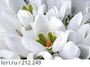 Купить «Подснежники», фото № 212249, снято 29 февраля 2008 г. (c) Юрий Брыкайло / Фотобанк Лори