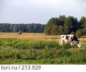 Купить «Корова на лугу. Заготовка сена», фото № 213929, снято 18 августа 2007 г. (c) Dmitriy Andrushchenko / Фотобанк Лори
