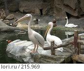 Купить «Пеликаны», фото № 215969, снято 13 июля 2007 г. (c) Хижняк Сергей / Фотобанк Лори