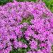 Розовые цветы — Лобелия каскадная (лат. Lobelia erinus), фото № 216905, снято 23 июля 2017 г. (c) ElenArt / Фотобанк Лори