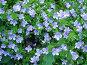Голубые цветы, фото № 216913, снято 24 октября 2016 г. (c) ElenArt / Фотобанк Лори