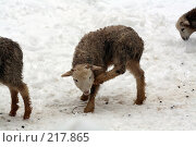 Купить «Маленький ягненок», фото № 217865, снято 7 февраля 2008 г. (c) Карасева Екатерина Олеговна / Фотобанк Лори