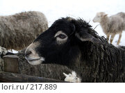Купить «Овца», фото № 217889, снято 2 февраля 2008 г. (c) Карасева Екатерина Олеговна / Фотобанк Лори