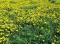 Желтые одуванчики, фото № 218053, снято 28 июля 2017 г. (c) ElenArt / Фотобанк Лори