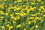 Желтые одуванчики, фото № 218065, снято 24 апреля 2017 г. (c) ElenArt / Фотобанк Лори