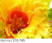 Желтый тюльпан. Стоковое фото, фотограф ElenArt / Фотобанк Лори