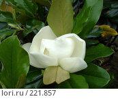 Купить «Цветок магнолии», фото № 221857, снято 5 июня 2007 г. (c) Емельянова Светлана Александровна / Фотобанк Лори