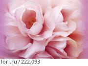 Tulip \ Тюльпаны. Стоковое фото, фотограф Лифанцева Елена / Фотобанк Лори