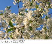 Купить «Цветущая вишня», фото № 223037, снято 27 апреля 2005 г. (c) Игорь Струков / Фотобанк Лори