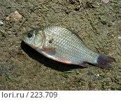 Купить «Живая рыба лежит на песке», эксклюзивное фото № 223709, снято 15 июля 2007 г. (c) lana1501 / Фотобанк Лори