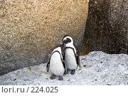 Купить «Семья африканских пингвинов», фото № 224025, снято 2 февраля 2008 г. (c) Артем Абрамян / Фотобанк Лори