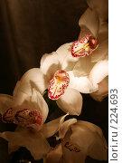 Купить «Вечерняя орхидея», фото № 224693, снято 15 октября 2018 г. (c) Светлана Кучинская / Фотобанк Лори