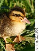 Купить «Одна маленькая утка в зеленой траве», фото № 224905, снято 25 мая 2007 г. (c) Останина Екатерина / Фотобанк Лори