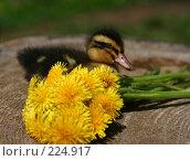 Купить «Маленькая утка и желтые цветы летним днем», фото № 224917, снято 26 мая 2007 г. (c) Останина Екатерина / Фотобанк Лори