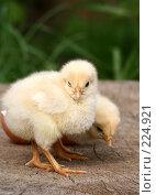 Купить «Два цыпленка», фото № 224921, снято 26 мая 2007 г. (c) Останина Екатерина / Фотобанк Лори
