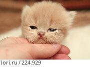Купить «Взгляд маленького симпатичного пушистого котенка», фото № 224929, снято 4 марта 2008 г. (c) Останина Екатерина / Фотобанк Лори
