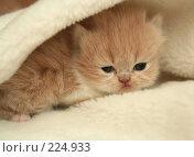 Купить «Взгляд маленького симпатичного пушистого котенка», фото № 224933, снято 4 марта 2008 г. (c) Останина Екатерина / Фотобанк Лори