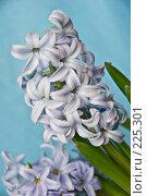 Купить «Гиацинты голубого цвета», фото № 225301, снято 17 марта 2008 г. (c) Светлана Силецкая / Фотобанк Лори
