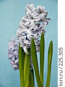 Купить «Гиацинты голубого цвета», фото № 225305, снято 17 марта 2008 г. (c) Светлана Силецкая / Фотобанк Лори