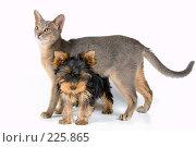 Купить «Щенок йоркширского терьера с кошкой», фото № 225865, снято 1 октября 2007 г. (c) Vladimir Suponev / Фотобанк Лори