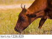 Купить «Корова», фото № 226829, снято 9 августа 2005 г. (c) Кравецкий Геннадий / Фотобанк Лори