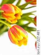 Купить «Красно-желтые тюльпаны, крупный план», фото № 227481, снято 8 марта 2008 г. (c) Ольга Хорькова / Фотобанк Лори