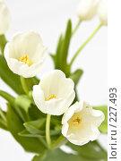Купить «Букет белых тюльпанов», фото № 227493, снято 8 марта 2008 г. (c) Ольга Хорькова / Фотобанк Лори