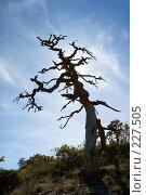 Купить «Старое сухое дерево (сосна) в горах Крыма в контровом свете», фото № 227505, снято 18 сентября 2006 г. (c) Олег Титов / Фотобанк Лори