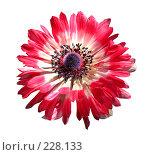 Декоративный цветок, изолировано на белом фоне, фото № 228133, снято 7 июля 2006 г. (c) Андрей Зык / Фотобанк Лори