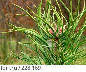 Ветка сосны, фото № 228169, снято 22 октября 2005 г. (c) Андрей Зык / Фотобанк Лори