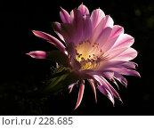 Купить «Цветок кактуса», фото № 228685, снято 12 июня 2005 г. (c) Илья Троицкий / Фотобанк Лори